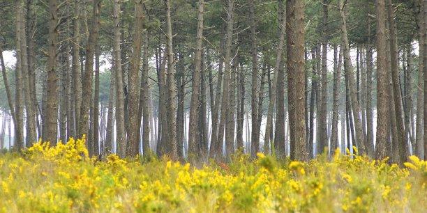 Avec près de 1 million d'hectares, le massif des Landes de Gascogne est la plus grande forêt cultivée d'Europe