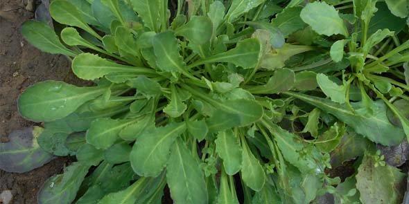 Nocceae, plante hyperaccumulatrice de Zinc, présente dans le Gard, à Saint Laurent le Minier.