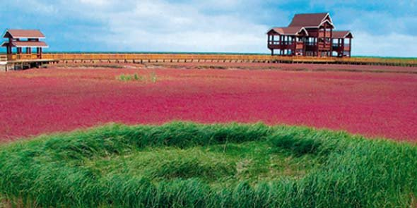 À Panjin, dans le nord-est de la Chine, Biotope réhabilite une zone littorale de 300 000 ha, abritant la plus grande roselière du monde.
