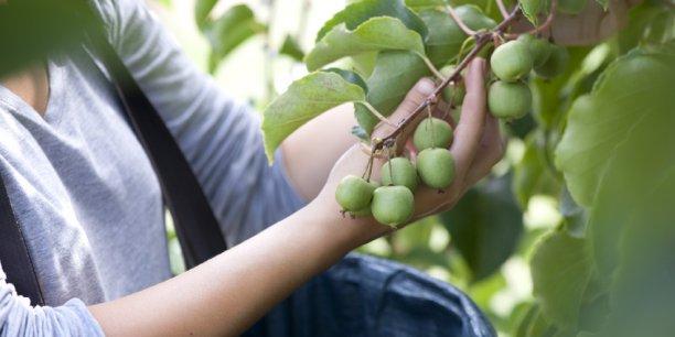 Commercialisés depuis 2013 par Primland en France, les baby kiwis Nergi sont disponibles à la vente jusqu'à début novembre en GMS (Grandes et moyennes surfaces) entre 2,50 et 3 € la barquette, en RHF (restauration hors foyer) et chez les spécialistes de fruits et légumes.
