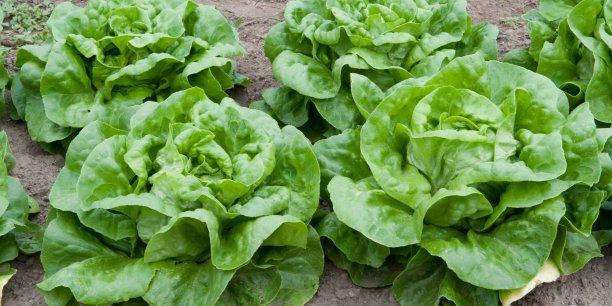 Des salades contamin es aux pesticides cr ent le scandale for Eliminer les vers des salades