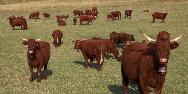 La vache Salers âgée de cinq ans provenait d'un élevage de 400 animaux dans les Ardennes.