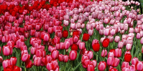 Au pays des tulipes, l'UE ne fait plus guère recette...