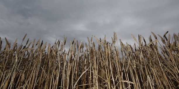 Malgré une concentration au mètre carré plutôt encourageante, due à la douceur de l'hiver dernier, les agriculteurs ont découvert, lors de la moisson et du battage, des épis anormalement vides, contenant une vingtaine de graines chacun contre la cinquantaine sur laquelle ils comptaient.