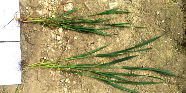 Sur ces images de tests, le biostimulant Axioma (appliqué sur le blé en bas de l'image) semble booster l'assimilation de nutriments ce qui rendrait la plante plus résistante au stress hydrique, thermique… avec moins de traitements.