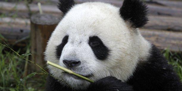 La région du Sichuan abrite la plus grande réserve de pandas du monde. L'équilibre de leur habitat est menacé par l'explosion urbaine de la ville de Chengdu.