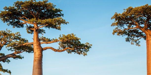 Le fruit du baobab contient vitamines et minéraux, et possède un fort pouvoir anti-oxydant.