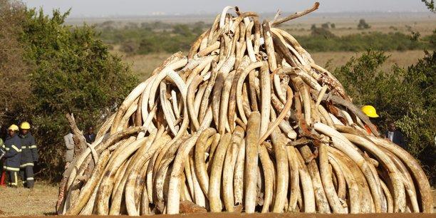 En Chine, où l'ivoire est parfois surnommé or blanc, un kilo peut se vendre jusqu'à 1.100 dollars, selon l'organisation Save the elephants. (Photo : une montagne de défenses d'éléphants au Kenya, le 3 mars 2015)