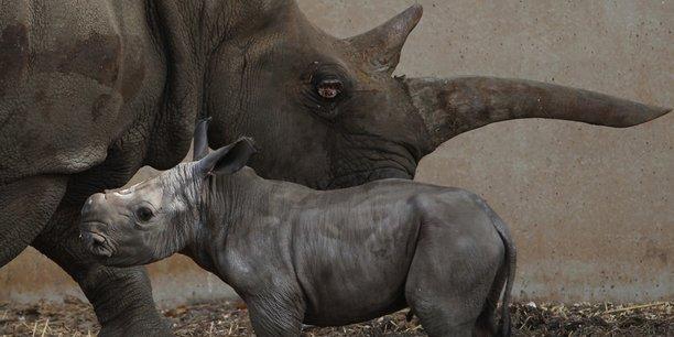A terme, la fondation de Sigfox rêve de connecter les 29.000 rhinocéros encore en vie autour du globe.