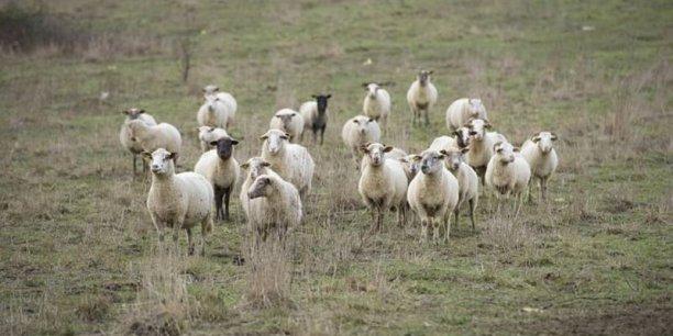 En 2014 Arnaud Chedhomme annonçait la constitution d'un troupeau de 200 brebis, 20 vaches Bazadaises et 20 Blondes d'Aquitaine en zone Natura 2000.