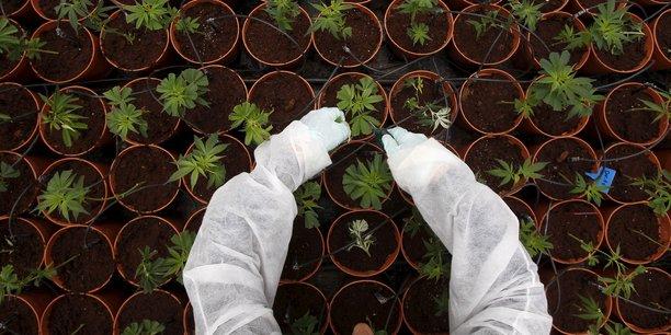 Les Etats-Unis est le deuxième plus gros consommateur de cannabis au monde, avec 16,2% de consommateurs réguliers.