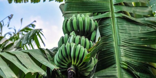 En 2016, la Côte d'Ivoire et le Cameroun ont produit près de 600 000 tonnes de bananes.