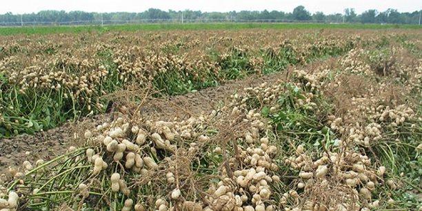Une partie des investissements financera le programme de collecte de graines d'arachide de la campagne 2018-2019 de la Société nationale de commercialisation des oléagineux du Sénégal.
