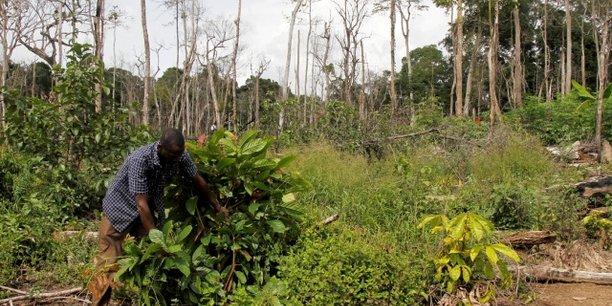 En Côte d'Ivoire, le développement des cultures cacaoyères a engendré une perte conséquente dans la superficie des forêts.