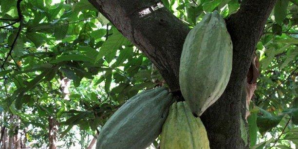 Les prix du cacao ont connu une hausse de 30% depuis le début de l'année, dépassant à nouveau les 2500 dollars la tonne à New York.