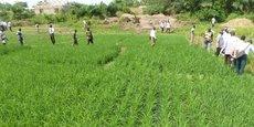 Une rizière à culture humide dans les vallées de l'intérieur de la région d'Ashanti au Ghana.