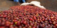 Près de 600 000 ménages ruraux au Burundi pratiquent la culture du café.