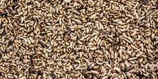 L'entreprise nourrit ses insectes avec des coproduits de l'industrie agroalimentaire, aujourd'hui trop nombreux pour être absorbés par l'élevage bovin.