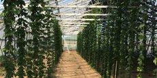 Les 450 m2 de plantation de houblon sous serre exploités par la famille Fabre