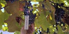 Dans le vignoble cévenol, une grappe d'Isabelle, cépage interdit à la commercialisation en France, mais autorisé pour la consommation personnelle des producteurs