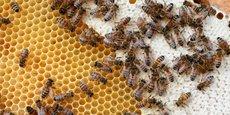 En baisse de 70 % depuis vingt ans, la production de miel avoisine 10.000 tonnes de miel, seulement un quart de la consommation annuelle totale. En cause, l'emploi de pesticides dans les cultures, la mise en jachère de 10 % des surfaces agricoles dans le cadre de la PAC et le parasite varroa, tous responsables de la disparition progressive des abeilles.