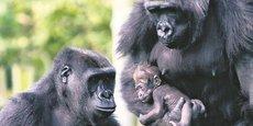 Toutes les sous-espèces de gorilles sont en danger, selon le rapport publié le 6 mai par l'IPBES.
