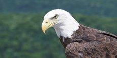 L'aigle chauve, emblème des Etats-Unis, est portant une espèce menacée.