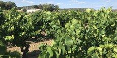Une vigne irriguée grâce à l'eau usée traitée après stockage, filtration et désinfection par UV