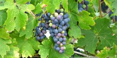 Des vignes dans le Bordelais
