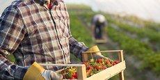 Les producteurs de fraises de Sologne ne sont pas sûrs de pouvoir effectuer la totalité de la récolte par manque de main d'œuvre.