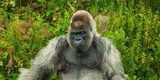 Dans La Tribune, l'entrepreneur bordelais Guillaume-Olivier Doré donne la parole aux gorilles à dos argenté, ces chefs d'entreprises aux tempes grisonnantes.