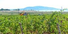 Vendanges en cours dans les vignes de Marseillan (Hérault).