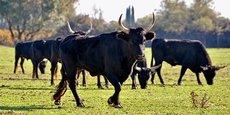 La filière manadière compte un cheptel de 18.000 bovins de raço di biou et 10.000 chevaux de race Camargue, et génère habituellement près de 60 millions d'euros de chiffre d'affaires en régions Occitanie et PACA.