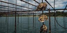 L'élevage sur cordes et sur tables constitue l'ADN des producteurs de coquillages en Méditerranée, un savoir-faire combiné à un environnement spécifique (90% de la production est réalisée en milieu lagunaire).