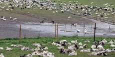 Pour le Cifog c'est lorsqu'ils sont à l'extérieur que les canards gras d'élevage sont contaminés par les canards migrateurs venus de Russie.