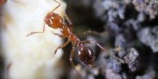 Les piqûres de la fourmi de feu, qui engendrent parfois un choc anaphylactique, entraînent des dizaines de milliers d'hospitalisations par an.