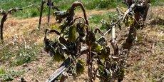 Le gel, qui a durement frappé le vignoble français dans la nuit du 7 au 8 avril 2021, pourrait diviser la récolte viticole du Languedoc-Roussillon par deux en 2021.
