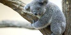 LA POPULATION DE KOALAS AUSTRALIENS A DIMINUÉ D'UN TIERS EN TROIS ANS