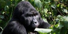La découverte des gorilles des montagnes est une activité des plus lucratives au Rwanda. Chaque jour, seulement 32 permis sont délivrés, moyennant 750 dollars. L'âge minimum est de 15 ans et il faut pouvoir prouver que l'on est en bonne santé. © Alexander