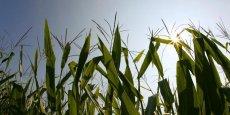 Le MON810 est le seul OGM actuellement cultivé dans l'Union européenne. Son renouvellement d'autorisation est actuellement en cours d'examen par l'Union européenne, avec en parallèle des discussions pour revoir le processus d'évaluation des OGM. (Photo : Reuters)