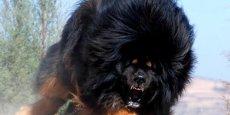 Le dogue tibétain - l'autre nom du Mastiff - est réputé pour son attitude difficile. (Flickr/Bernard Schep)