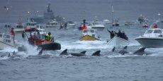 Scène de pêche à la baleine aux Féroé. L'archipel a dû accepter les quotas de pêche aux harengs de l'UE. /Reuters