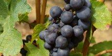 Le rosé représente 42 % de la production des côteaux-de-l'Ardèche et seulement 2 % du beaujolais (photo YP).