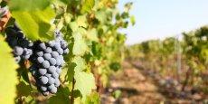 Le volume de récolte s'établirait ainsi à 11,4 Mhl dans le bassin Languedoc-Roussillon (- 220 000 hl)