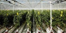 Pour parvenir à produire plus de 5.000 tonnes de tomates grappes par an, le groupe coopératif Paysans de Rougeline a conclu un partenariat d'une durée de 20 ans avec Tiru (groupe EDF).