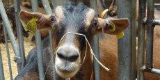 Le picodon est un fromage de chèvre fabriqué dans la Drôme, en Ardèche ainsi que dans les cantons de Valréas (Vaucluse) et de Barjac (Gard).