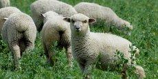 Des moutons pour remplacer les tondeuses, à Annecy.