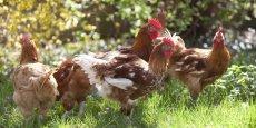 Les volailles d'Aquitaine paient un lourd tribut à la grippe aviaire.