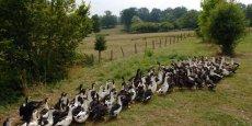 La crise aviaire frappe violement la Grande Aquitaine
