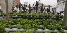 Un habitant du quartier de Lince à Lima (Pérou) cultive sur son toit des laitues en recourant à l'hydroponie. Il est aidé par des chercheurs de l'université agraire du Pérou. La municipalité de Lince a lancé un programme de formation des habitants du quartier pour cultiver des légumes en réponse à la diminution des surfaces de terres cultivables.